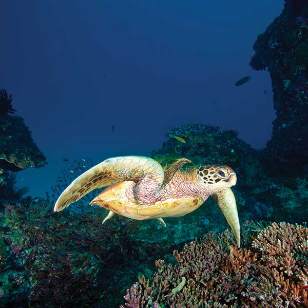 turtle-barrier-reef